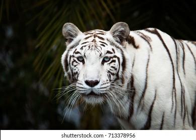 White Bengal (Panthera Tigris) look at camera.
