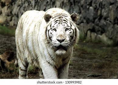 White Bengal Tiger Approaching