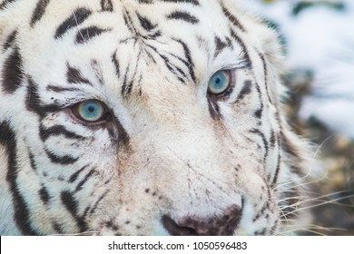 White bengal tiger with beautiful blue eyes close up detail. Big cat portrait.