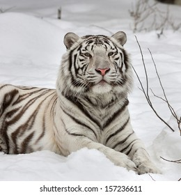 A white bengal tiger, calm lying on fresh snow. The most beautiful animal and very dangerous beast of the world. This severe raptor is a pearl of the wildlife. Animal face portrait.