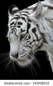 The white bengal tiger female, named Kali, isolated on black background.