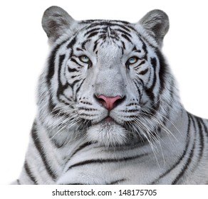 White bengal tiger, isolated on white background. Beautiful big cat with blue eyes and pink nose. Dangerous and severe beast