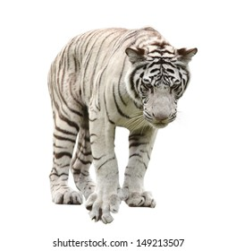 white bengal tiger isolated on white background
