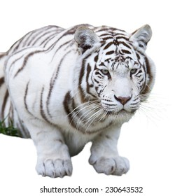 White bengal tiger, isolated on white background