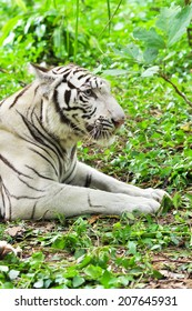 White Bengal Tiger lying in the forest.