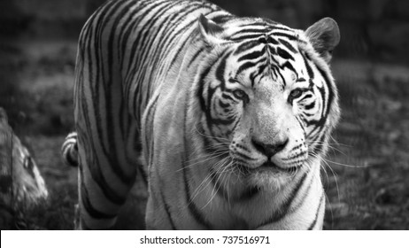 The White Bengal tiger (Panthera tigris bengalensis), or bleached tiger, in the zoo