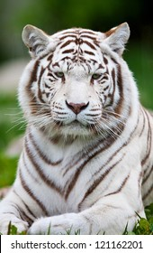 White Bengal Tiger. The white tiger is a recessive mutant of the Bengal tiger, which was reported in the wild from time to time in Assam, Bengal, Bihar and especially from the former State of Rewa.