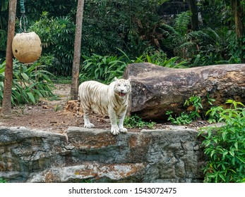 White Bengal tiger standing and snarling on a rock ledge.
