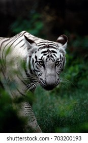 The White Bengal tigers are distinctive due to the color of their fur. The white fur caused by a lack of the pigment phenomenal,