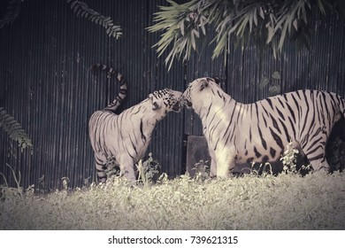 White Bengal Tigers in love