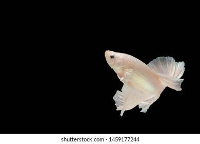 White betta fish,Siamese fighting fish,siamese fighting fish betta splendens (Halfmoon betta,Betta splendens Pla-kad ( biting fish) isolated on black background
