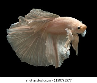 White Betta (Siamese Fighting Fish, Betta Splendens) isolated on black background.