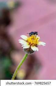 White Bidens alba flower with black fly