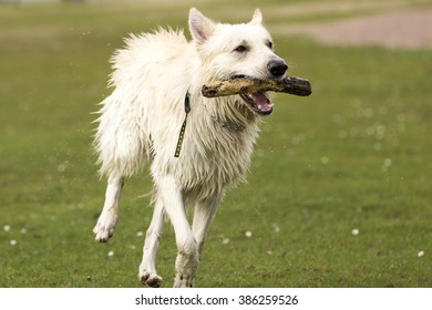 White big dog playing in water and running on grass