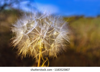 White big fluffy flower in a meadow - Tragopogon dubius or yellow salsify, wild oysterplant, goat`s beard in a wild. Big dandelion. Backlight. Evening time. Autumnal natural background.