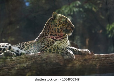 white big leopard in tropical  zoo