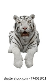 White big tiger of Panthera the Tiger  on a white background