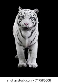 White big tiger Panthera tigris bengalensis walking isolated at black