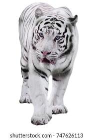 White big tiger Panthera tigris bengalensis walking isolated at white
