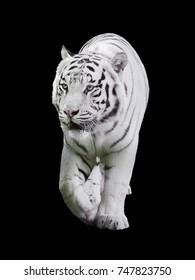 White big tiger Panthera tigris bengalensis walking isolated at black