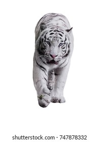 White big tiger Panthera tigris bengalensis walking isolated at white