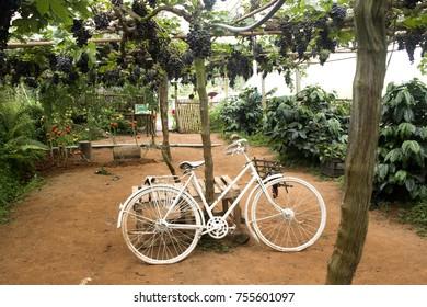 White Bike In Vineyard
