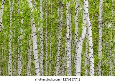 white birch forest green leaves, nature forest background