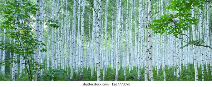 White Birch Forest in Summer, Panoramic View