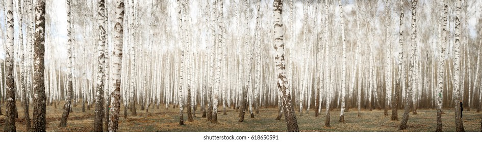 White birch grove in the spring. background.