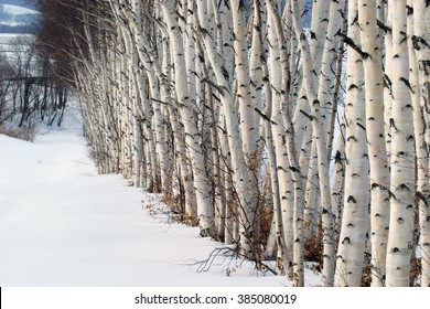 White birch with heavy snow at Memanbetsu, Hokkaido