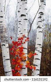 White birch and red leaves