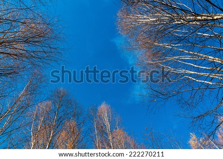 27e009780d White Birch Tops Birch Trees Against Stock Photo (Edit Now ...