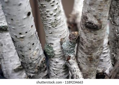 White birch tree branches