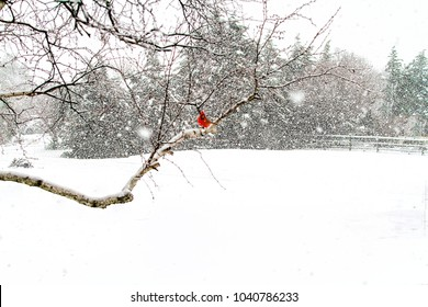 White birch tree with red cardinal perched on a branch in the midst of a heavy snow storm.