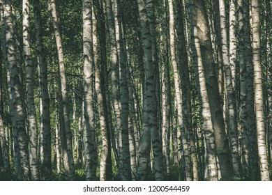 white birch tree trunk texture in overcast summer day with green foliage in forest - vintage retro look