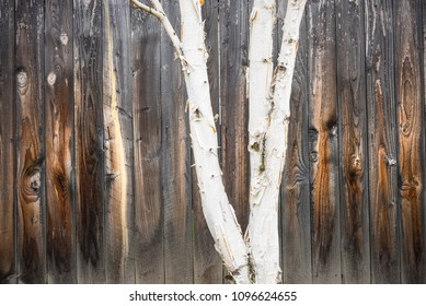 White birch tree and wooden fence