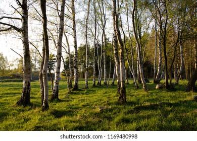 White birch trees with beautiful birch bark in a birch grove. Birch grove on a sunny summer day.