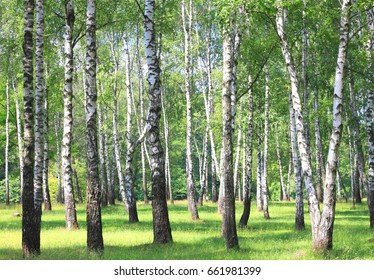 White birch trees with beautiful birch bark in a birch grove