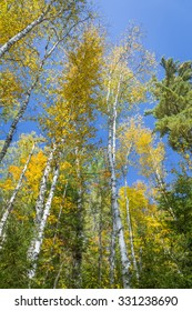 White Birch Trees (Betula papyrifera) in Autumn Against a Blue Sky - Silent Lake Provincial Park, Ontario, Canada