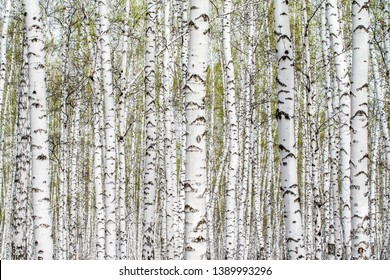White birch trees forest background, spring.