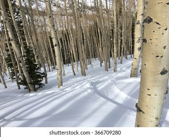 White Birch in the winter with Snow