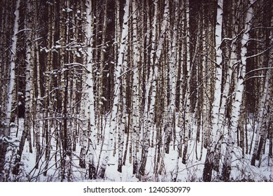 white birches on the edge of the forest