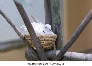 White bird, a dove waiting for kids, little birds in the nest. Female hatches eggs. Breeding, offspring concept. Wild life, nature.