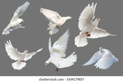 White bird flying gray background
