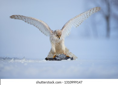White bird of prey, Siberian goshawk, Accipiter gentilis albidus with widespread wings, eating dove on snow ground. Low angle photo of rare, white hawk in winter landscape.