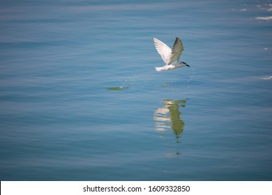 White bird (Whiskered tern) flying over water for catch fish