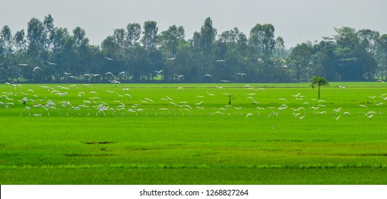 White birds flying over rice field at sunny day in Mekong Delta, Southern Vietnam.