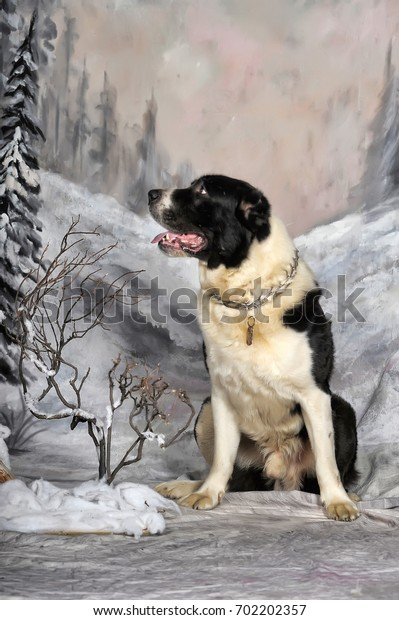 White and black Alabai (Central Asian Shepherd Dog) dog
