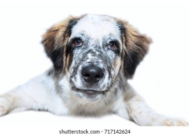 White, black and brown color fuzzy dog isolated on white background