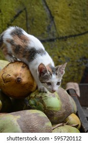white & black Cat on the coconut.